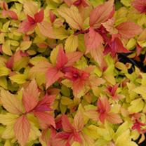 Spirea japonica Plant - Magic Carpet