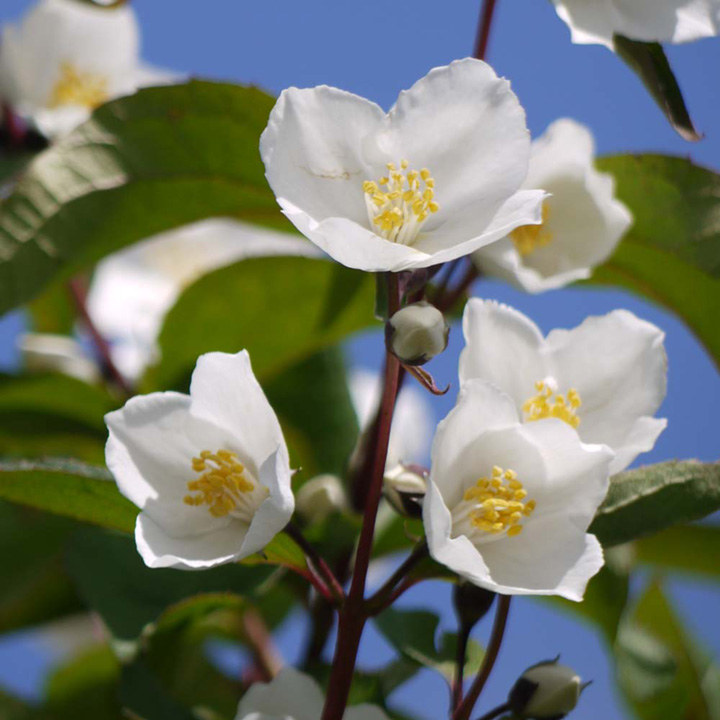 Philadelphus Plant - Starbright