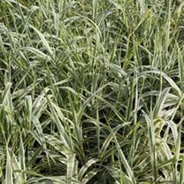 Arundo donax Plant