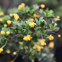 berberis darwinii Plant - Nana