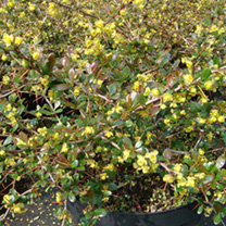 Yellow flowering evergreen shrub on suttons berberis media plant red jewel mightylinksfo