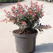 Berberis thunb. Plant - Atropurpurea