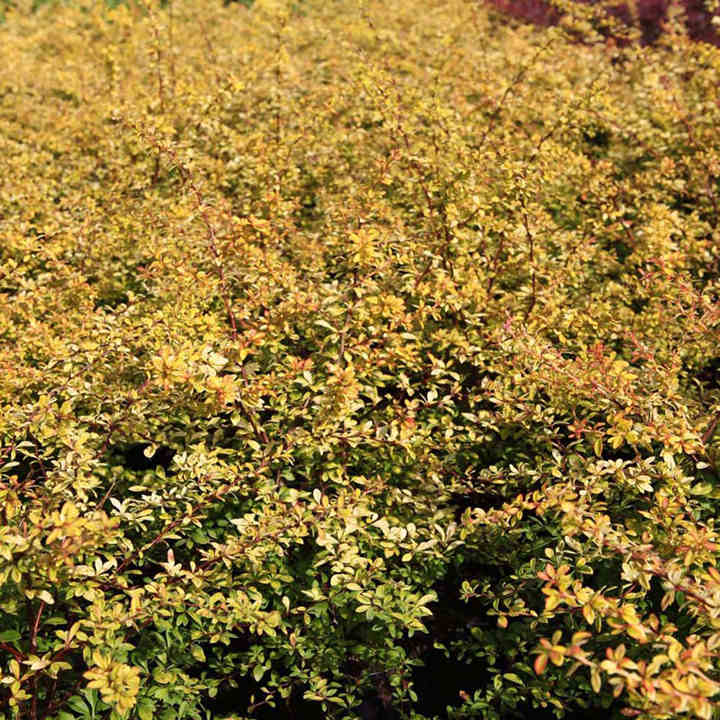 Berberis thunbergii Plant - Golden Dream