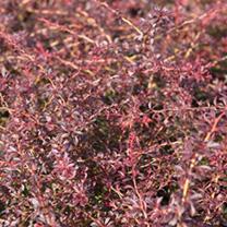 Berberis thunbergii Plant - Orange Dream