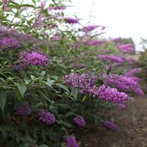 Buddleia Argus® Plant - Velvet