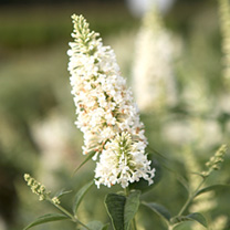Buddleia Argus Plant - White