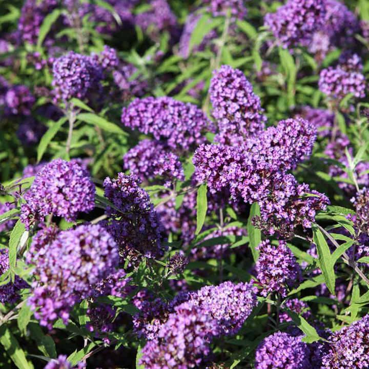 Buddleia davidii Plant - Purple Emperor