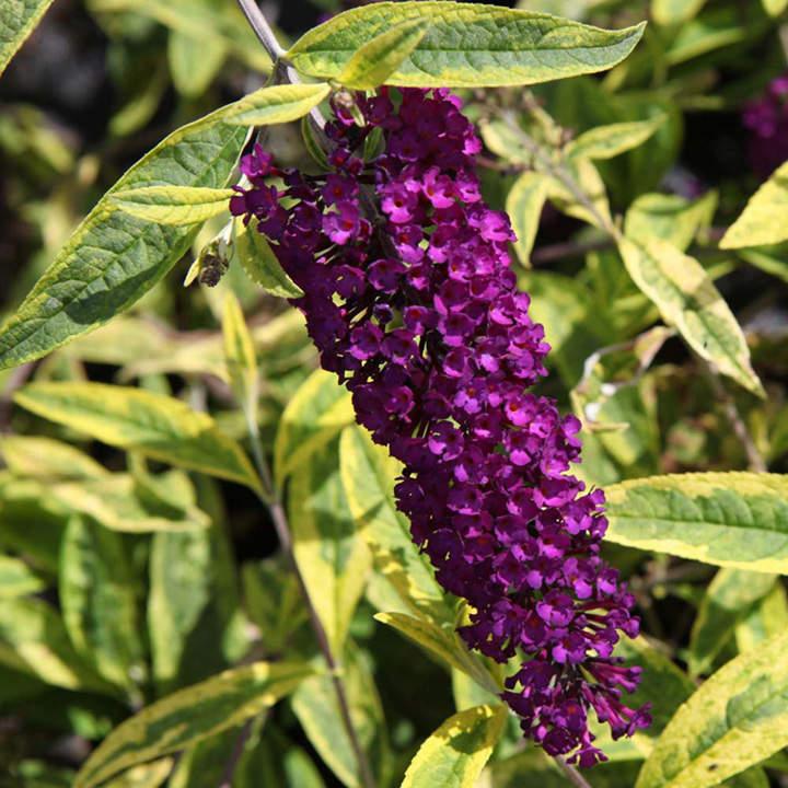 Buddleia davidii Plant - Santana