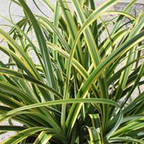 Carex trifida Plant - Rekohu Sunrise