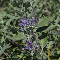 Caryopteris clandonensis Plant - Heavenly Blue