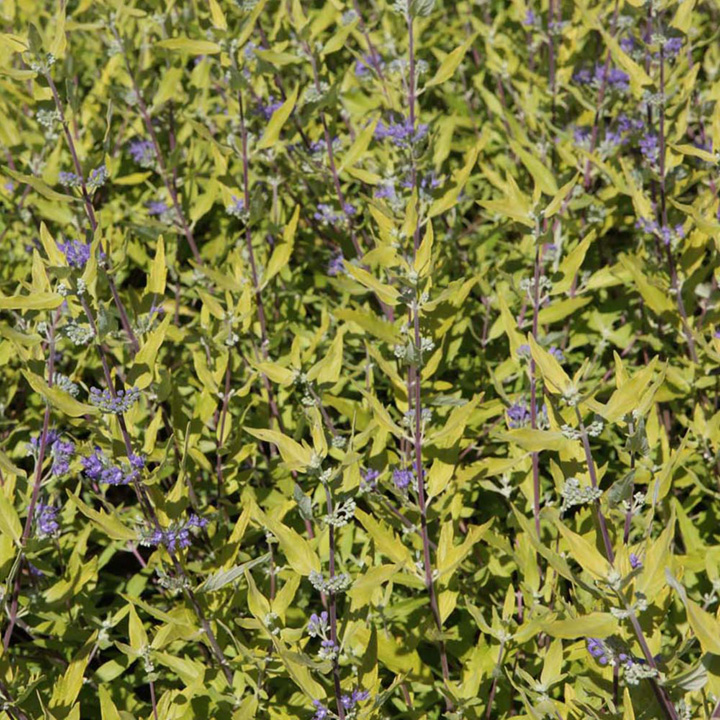 Caryopteris clandonensis Plant - Worcester Gold