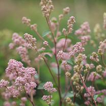 Ceanothus pallidus Plant - Marie Rose