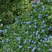 Ceanothus thrysifolius repens Plant