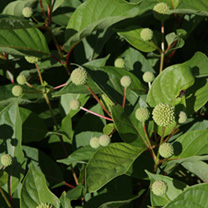 Cephalanthus occidentalis* Plant