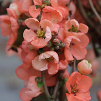 Chaenomeless superba Plant - Salmon Horizon