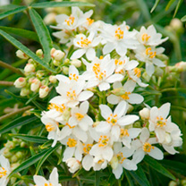 Choisya 'Aztec Pearl is a variety of the ever-popular Mexican Orange bush with masses of citrus-scented, pinkish-white, star-shaped flowers in late sp