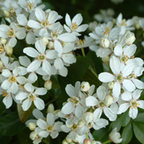 Choisya ternata Plant