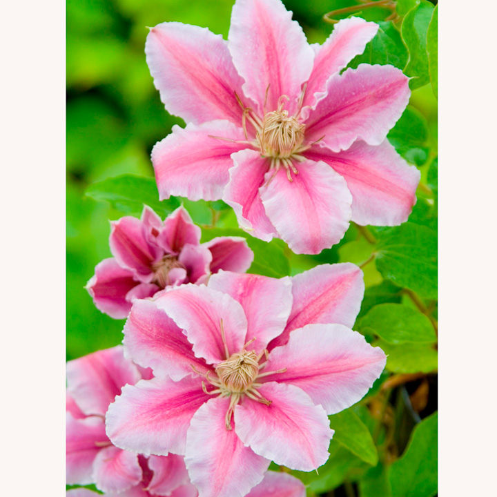 Clematis Plant - Dr Ruppel