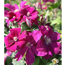 Clematis Plant - Rouge Cardinal