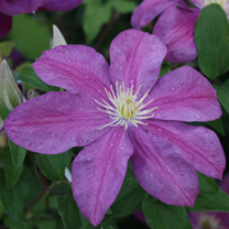 Clematis Plant - Sunset