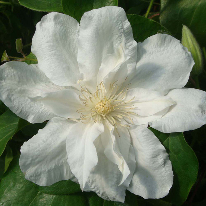 Clematis Plant - Sylvia Denny