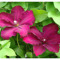 Clematis Plant - Westerplatte