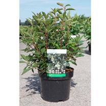 Clethra barbinervis Plant