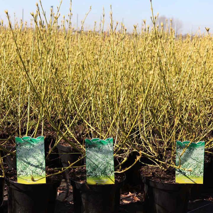 Cornus sericea Plant - White Gold