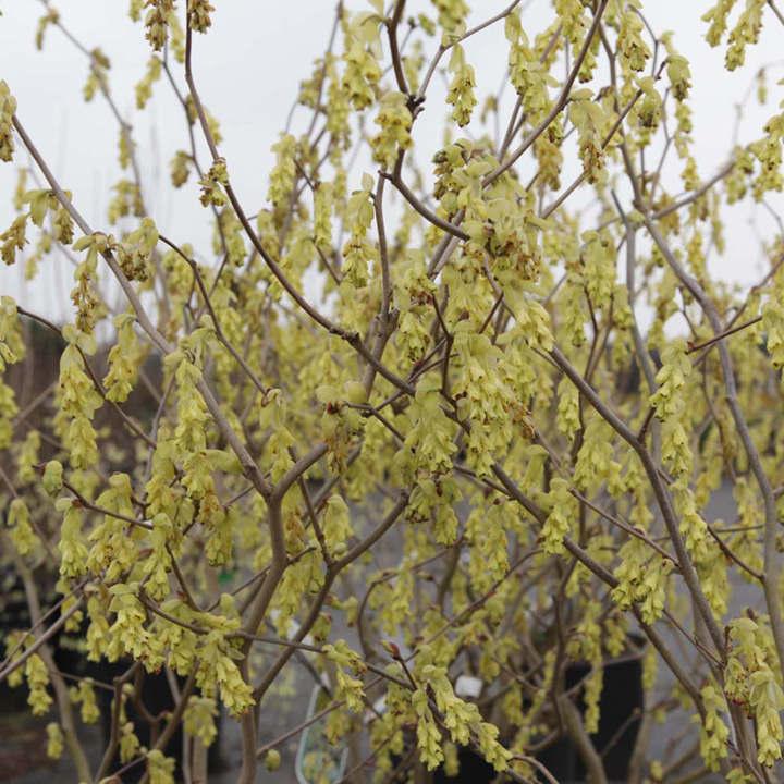 Corylopsis spicata Plant