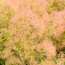 Cotinus coggygria Plant - Young Lady®
