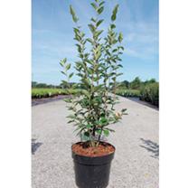 Cotoneaster lucidus Plant