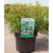 Deutzia gracilis Plant - Nikko