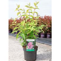 Deutzia hybrida Plant - Perle Rose
