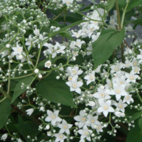 Deutzia setchuenensis corymbiflora Plant