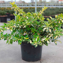 Euonymus fortunei Blondy 'Interbolwi is an evergreen shrub with variegated foliage of bright lemon yellow and mid to dark green glossy foliage on a de