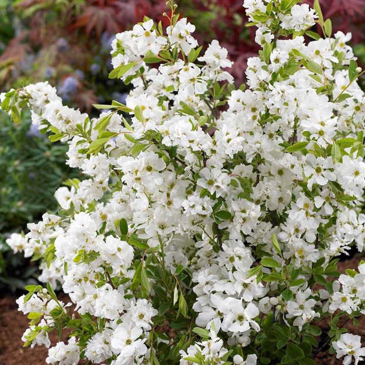 Exochorda r. Plant -Niagara®