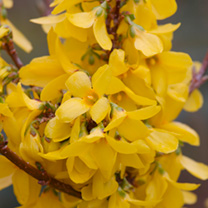 Forsythia int. Plant - Week-End