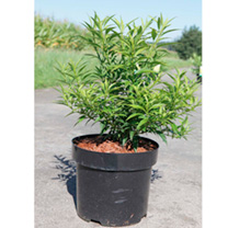 Forsythia vir. Plant - Citrus Swizzle