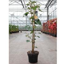Fremontodendron californicum Plant
