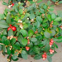 Gaultheria procumbens Plant