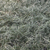 Genista lydia Plant