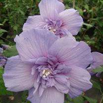 Hibiscus syr. Plant - Blue Chiffon Noble