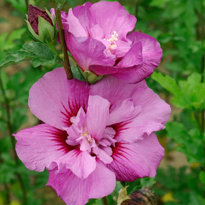 Hibiscus syriacus Plant - Eruption®