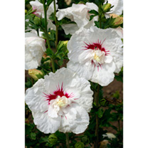 Hibiscus syriacus Plant - French Point