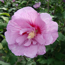 Hibiscus syriacus Plant - Lavender Chiffon Noble