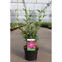 Hibiscus syriacus Plant - Purple Ruffles
