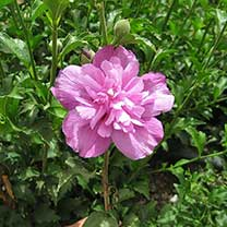 Hibiscus syr. Plant - Purple Ruffles