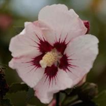 Hibiscus syriacus Plant - Rosso Belli Colori