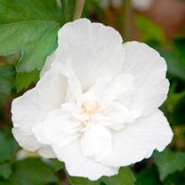 Hibiscus syriacus Plant - White Chiffon