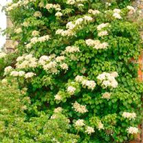 Hydrangea anomala petiolaris Plant